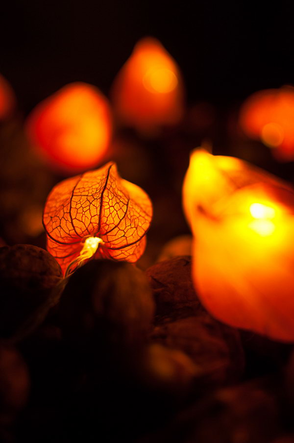 Use Dried Physalis blossoms to Make Fairy Lights .